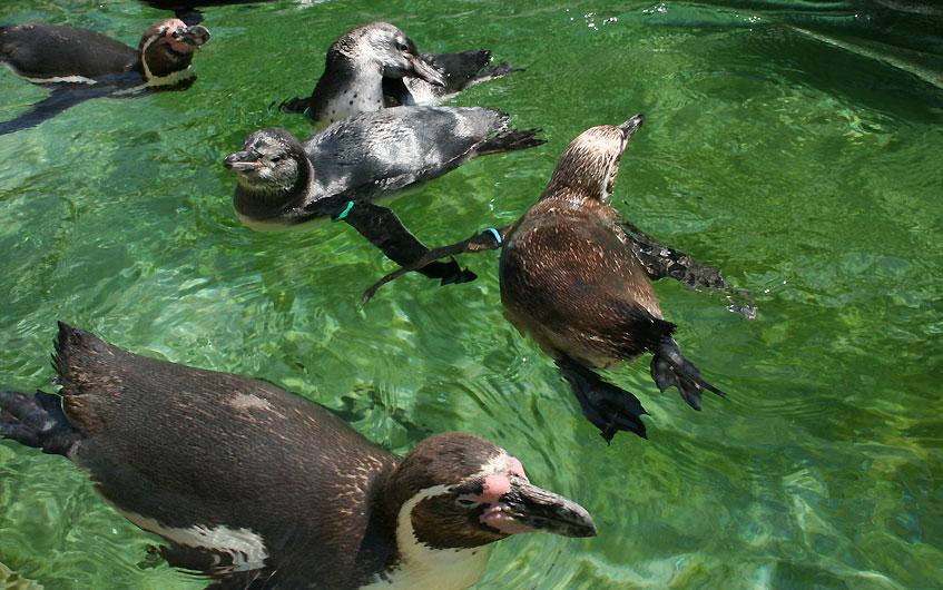 Pinguin, was machst du denn hier - Ich steh schon drei Stunden hier.